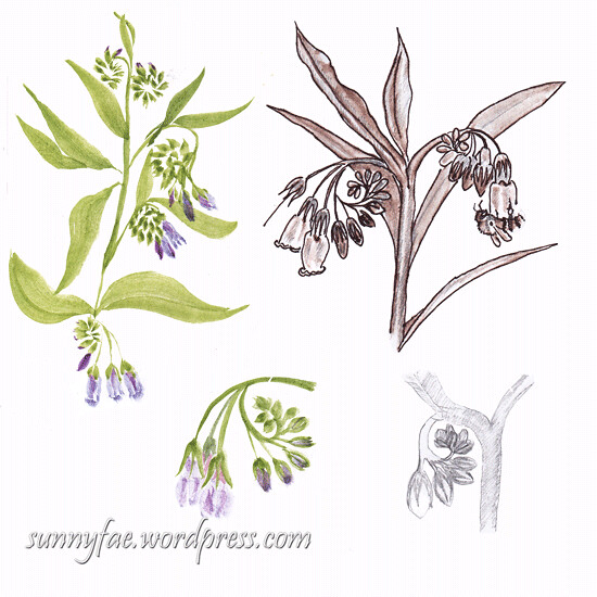 comfrey drawn in various medium