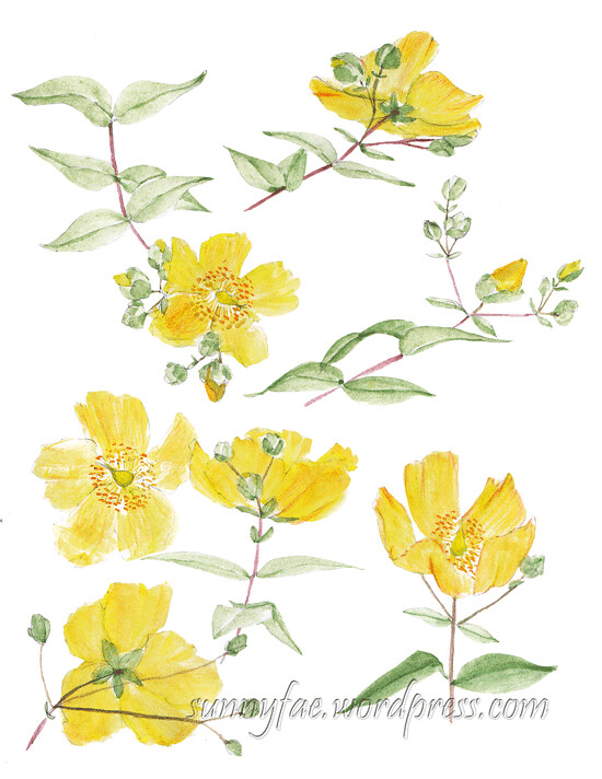 watercolour sketch of st johns wort