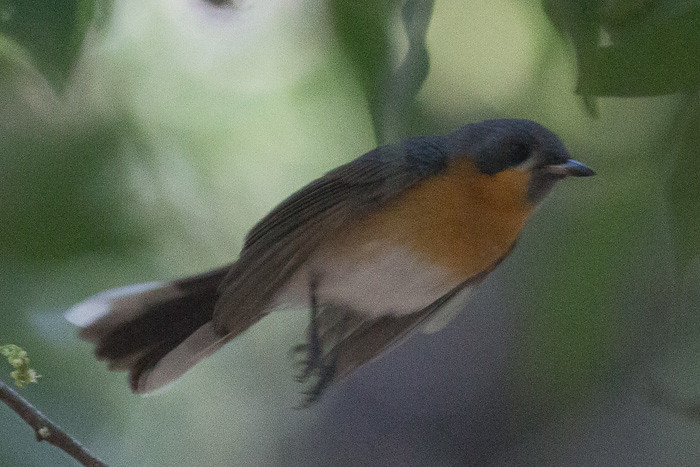 Spectacled Monarch   - juvenile