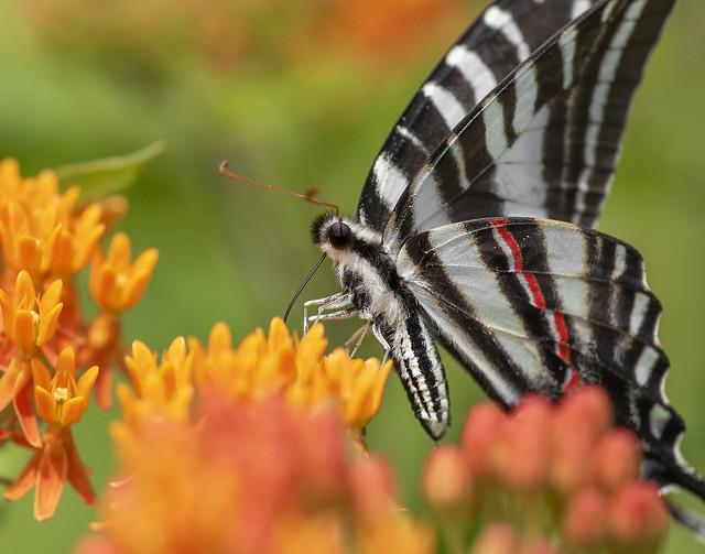 Zebra Swallowtail Portrait
