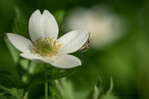 Anémone du Canada - Anemone canadensis