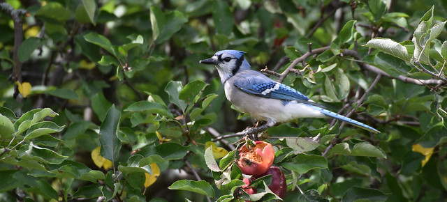 MIGRATING BLUE JAY, ACA PHOTO