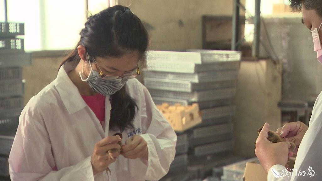 中興大學動科系的孵化室中,學生們忙碌的為剛破殼的小小信義土雞施打疫苗、別上翼號。