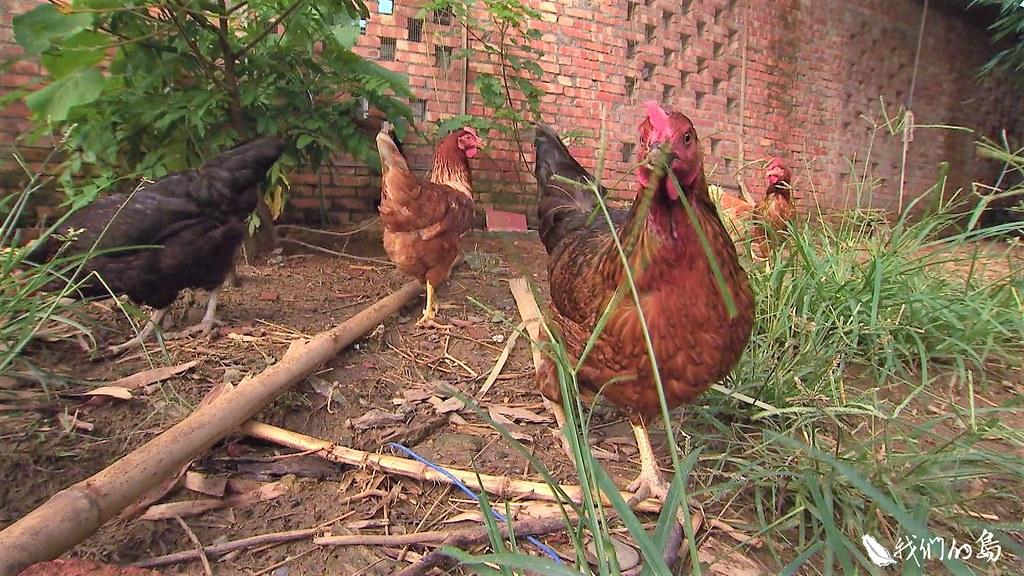 三十多年來持續保種在學術單位的土雞,走進人口外移、林地流失的原鄉部落。