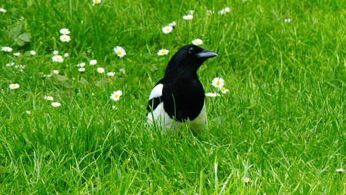 Grounded: magpies