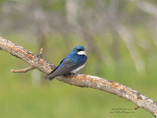 Tree Swallow - Meadow Lake, BC | by Michael W Klotz - The Bird Blogger.com