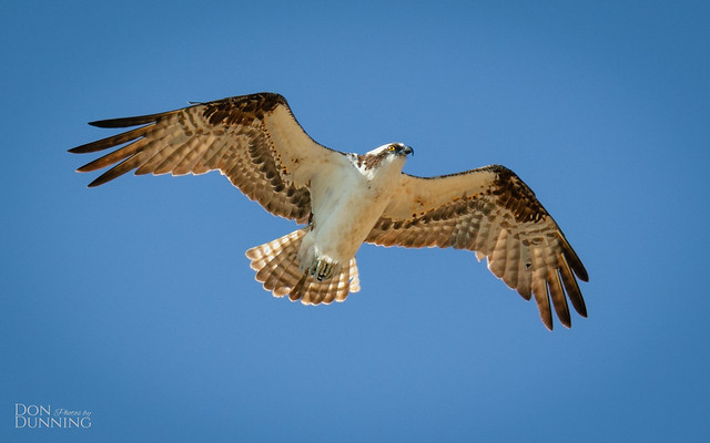Male Osprey (Pandion haliaetus)