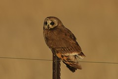 Marsh Owl  (Asio capensis)
