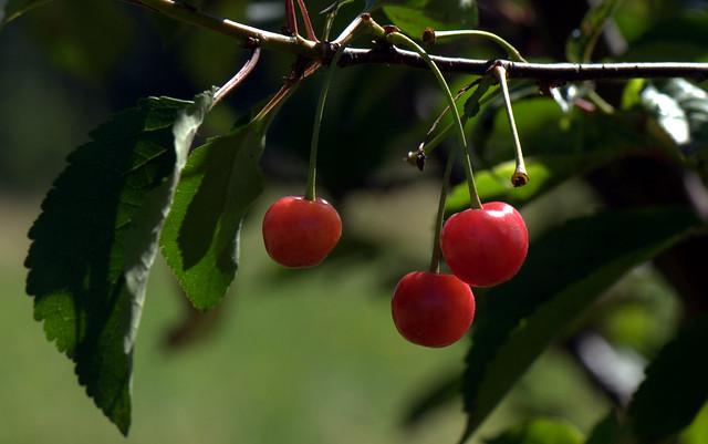 Cherry - Ciliegia (Prunus avium)