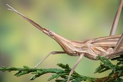 Saltamontes narigudo (Truxalis nasuta).