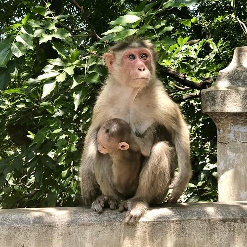 reserveforest amaravathi marayoor chinnar mumnar monkey