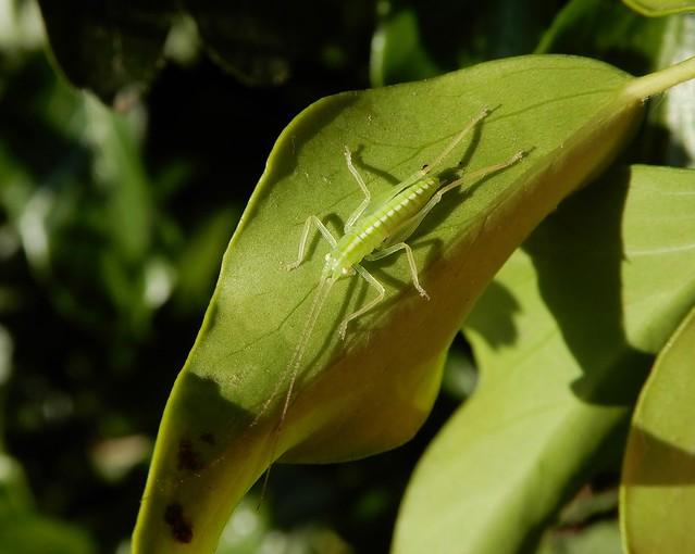 Oak bush-cricket nymph