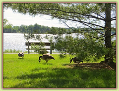 Canada Geese Enjoying Summer - HBM