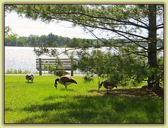 Canada Geese Enjoying Summer - HBM