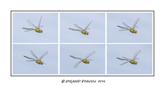 Wing flap sequence - Emperor Dragonfly