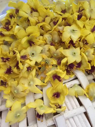 Wavyleaf Mullein (Verbascum sinuatum) harvest בוצין מפורץ