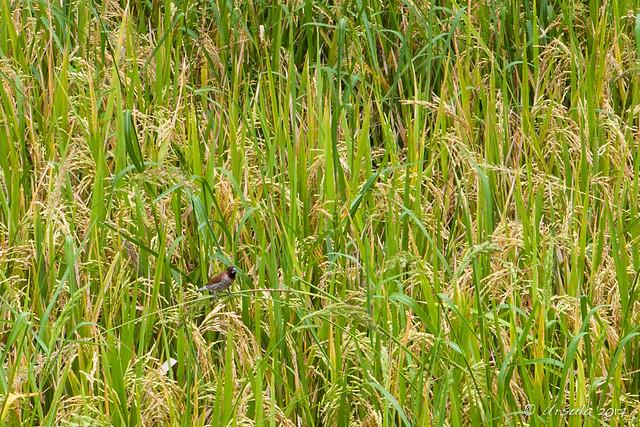 Little Spice Finch – Lonchura Punctulata 2025