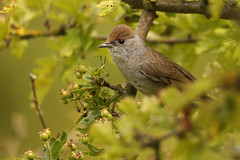 Mr & Mrs Blackcap (Mrs)