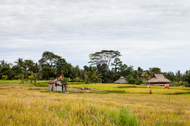 Sheds in the Rice Paddies 2021
