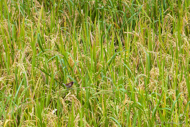 Little Spice Finch – Lonchura Punctulata 2023