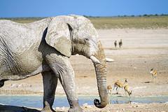 White giant, Etosha National Park, Namibia