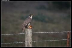 Peregrine Falcon: Rabbit potluck