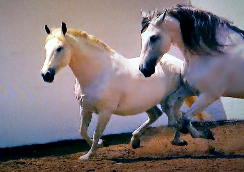 Spanische Kartäuser Pferde , Spanish Carthusian horses (serie) , 76759/11640