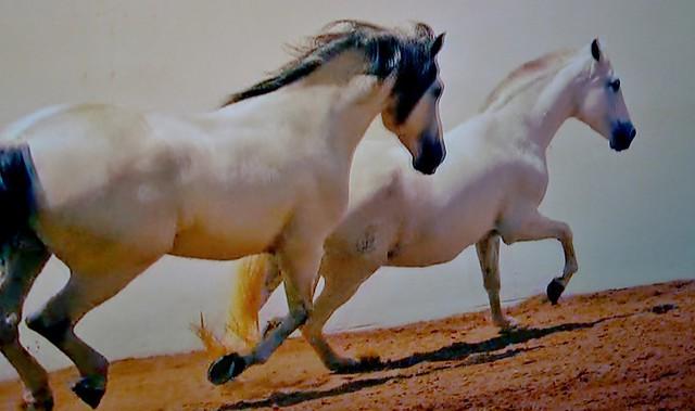 Spanische Kartäuser Pferde , Spanish Carthusian horses (serie) , 76756/11637
