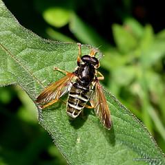 IMG_7771. Caliprobola speciosa (Syrphidae)