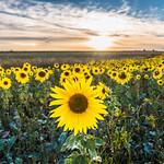 Field of Sunflowers Near Shrewton I
