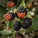 Blackberries are back