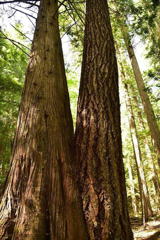 A cedar and a fir