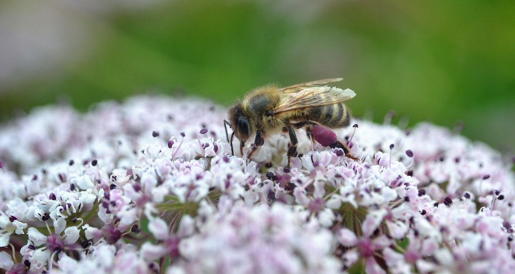 honey bee on Melanoselinum decipiens 3/3
