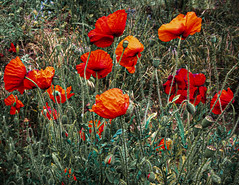 Poppies of the Field