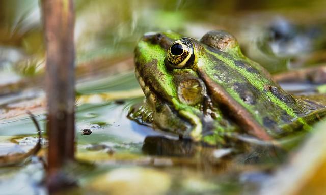 Eurasian Marsh Frog