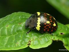 Leaf beetle, Platyphora sp.