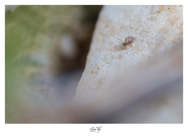 Collembole Cassagnaudiella gamae