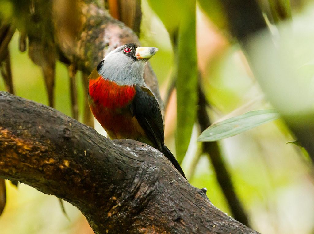 0P7A2939  Toucan Barbet, Ecuador