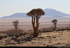 Quiver Trees, Namib-Naukluft NP, Namibia