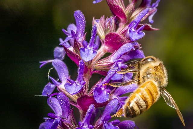 6-23-2019 Purple flower with bee-6