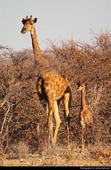 Giraffe with young one, Etosha NP, Namibia