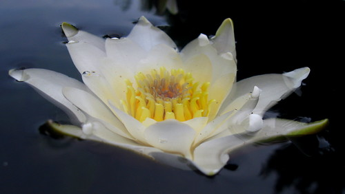"Water Lily ""drowned."""