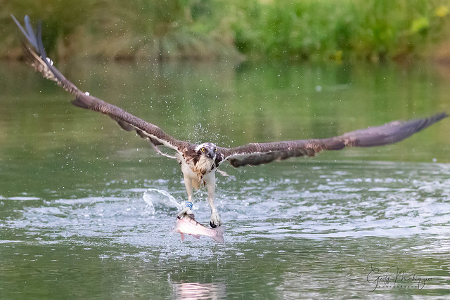 Osprey 28(10) with a fish takeaway