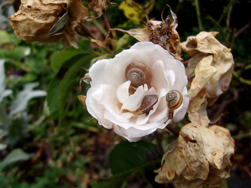 Snails in a rose head