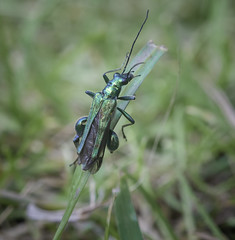 Thick-legged Flower Beetle in the garden