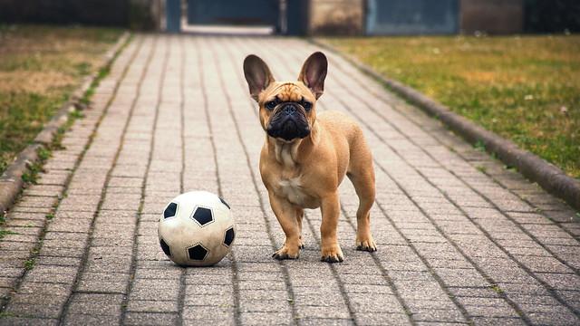 Maui French Bulldog