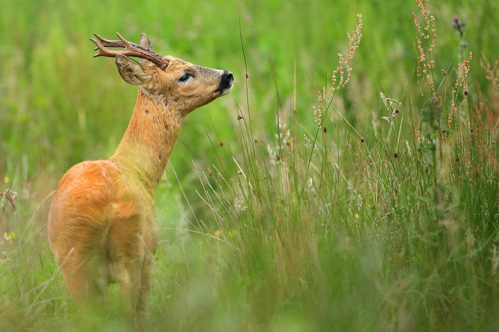 Roe Deer Scenting
