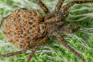 garden spider2 | by peterdransfield