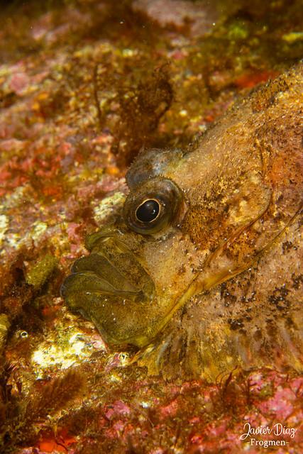 Tapadera (es). Topknot (en). [ Zeugopterus punctatus]. Vigo. Galicia. España.