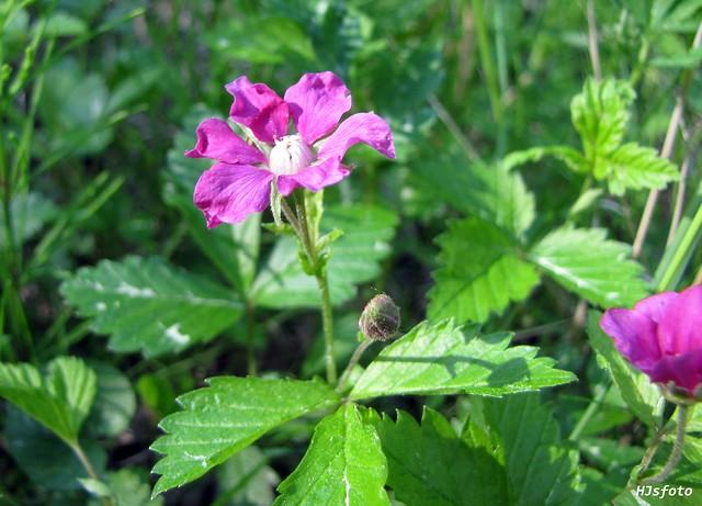 Åkerbärsblomma / Rubus arcticus